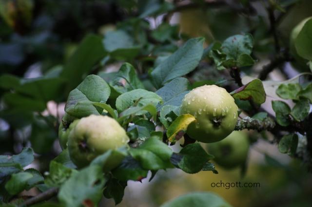 Några av mina småländska äpplen